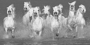 Horse Photo Posters - Nine White Horses Run Poster by Carol Walker