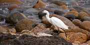 Snowy Egret Photos - No Re-Egrets by Peter Tellone
