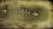 Goslings Framed Prints - No Time for Stragglers Framed Print by Diane Schuster