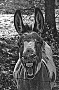 Burro Metal Prints - No Youre The Jackass Metal Print by Robert Frederick
