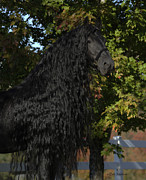Friesian Photo Posters - Nobility Poster by Pinnacle Friesians