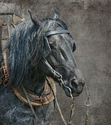 Belgian Draft Horse Photos - Noble Blue  by Gigi Embrechts