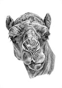 Camel Drawings - Noble One by Denise Wood