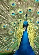 Sabrina L Ryan - Noble Peacock