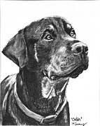 Akc Drawings Framed Prints - Noble Rottweiler Sketch Framed Print by Kate Sumners