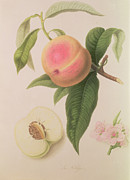 Food And Beverage Drawings Prints - Noblesse Peach Print by William Hooker