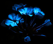 Petals Digital Art Framed Prints - Nocturnal Blue Framed Print by Camille Lopez