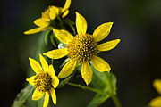 Annuals Posters - Nodding Bur Marigold Poster by Christina Rollo