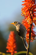 Australian Wildlife Prints - Noisy Miner 3 Print by Michael  Nau