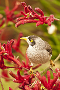 Paws Framed Prints - Noisy Miner in Kangaroo Paws Framed Print by Michael  Nau