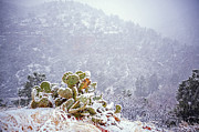 Winter Storm Metal Prints - Nopal in Snow Metal Print by Anthony Citro