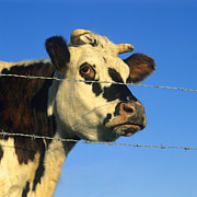Cloudless Prints - Normand cow Print by Bernard Jaubert