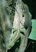 DiDi Higginbotham - North American Anoles