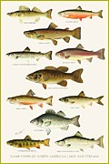 Fishermen Drawings - North American Game Fish by Pg Reproductions