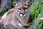Rusty Jeffries - North American Puma