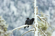 Sat Photos - North American Ravens Sat on a Branch by Paul W Sharpe Aka Wizard of Wonders