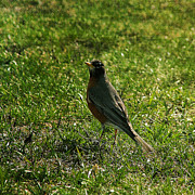 Denyse Duhaime - North American Robin In...