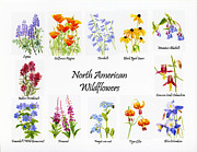 Watercolor Tiger Framed Prints - North American Wildflowers Poster II Framed Print by Sharon Freeman
