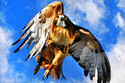 Red Tailed Hawk Posters - North Wind Poster by Christina Rollo