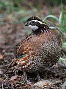 Game Bird Prints - Northern Bobwhite Print by Angie Vogel