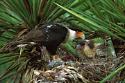Feeding Birds Posters - Northern Caracara Feeding Chicks Poster by Tom Vezo