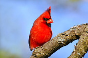 Mammals Digital Art - Northern Cardinal by Christina Rollo