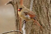 Dan Ferrin - Northern Cardinal Female