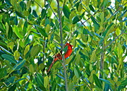 Cyril Maza Posters - Northern Cardinal Hiding Among Green Leaves Poster by Cyril Maza