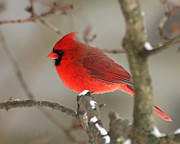 Deborah  Smith - Northern Cardinal In...