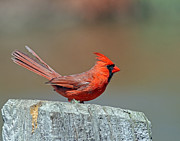 Jim Nelson Posters - Northern Cardinal - Male Poster by Jim Nelson