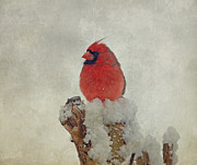 Bird In Snow Prints - Northern Cardinal Print by Sandy Keeton