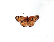 Inger Hutton Metal Prints - Northern Checkerspot Butterfly Metal Print by Inger Hutton