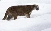 Leader Prints Prints - Northern Depths Cougar in the Winter Snow Print by Inspired Nature Photography By Shelley Myke