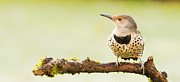 Sat Photos - Northern Flicker - Colaptes auratus  by Paul W Sharpe Aka Wizard of Wonders