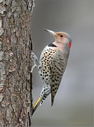 Winter Pyrography Posters - Northern Flicker Poster by Daniel Behm