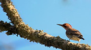 Rosanne Jordan - Northern Flicker in the...