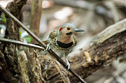 Dan Friend - Northern Flicker looking at you