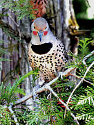 Michael Dohnalek - Northern Flicker Male