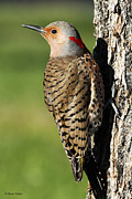 Sharon Watson  - Northern Flicker
