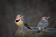 Woodpeckers Framed Prints - Northern Flickers Framed Print by Bill  Wakeley