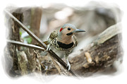 Dan Friend - Northern Flickers large woodpecker