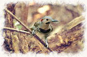 Dan Friend - Northern Flickers looking at you