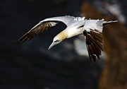 Sea Bird Framed Prints - Northern Gannet Framed Print by Grant Glendinning