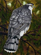 Raptor Paintings - Northern Goshawk by Rick Bainbridge