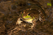 Anura Art - Northern Green Frog by Clarence Holmes