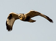 Natural Focal Point Photography - Northern Harrier in...