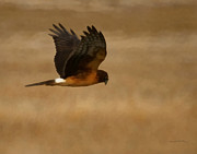 Hawk Digital Art - Northern Harrier Painterly by Ernie Echols
