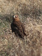 Sheellah Kennedy - Northern Harrier