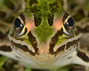 Leopard Face Prints - Northern Leopard Frog Print by Tony Beck