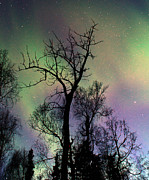 Northern Lights Cottonwood Print by Ron Day